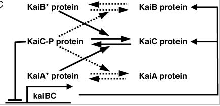 Image:KaiABC schema.png